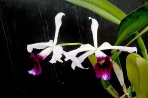 Cattleya blanca