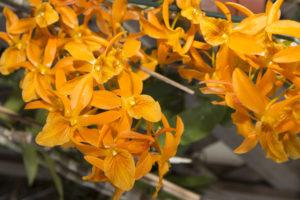 Dendrobium naranja