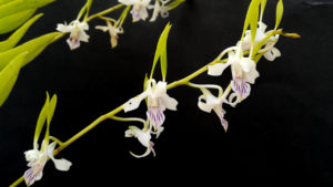 Brassia Blanca